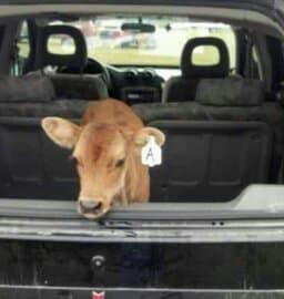 Jersey calf in a car.