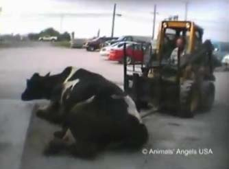 Cow Abuse Video