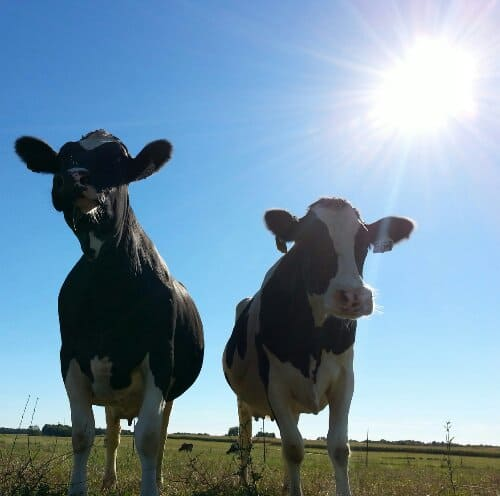 Two of our girls hanging out in their pasture this afternoon.