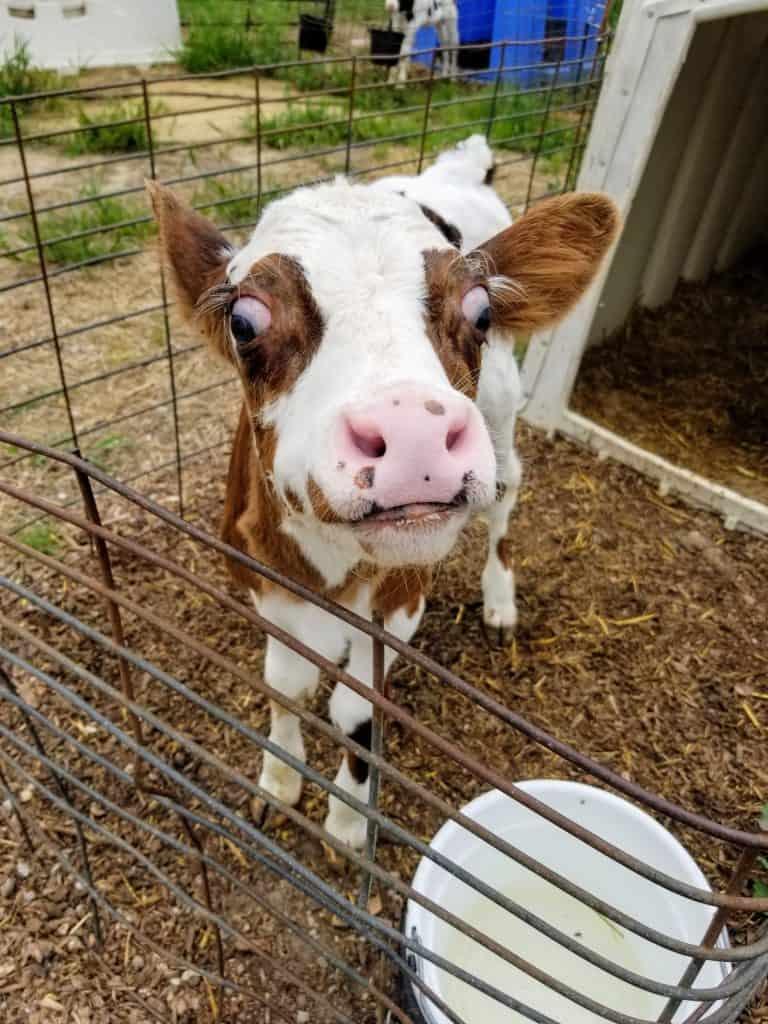 calf hutch on farm