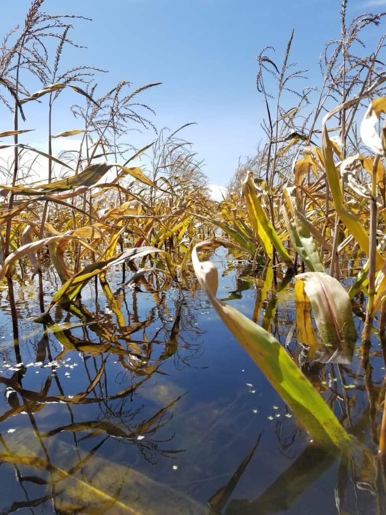 flooded corn