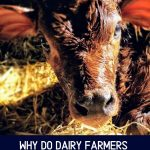 What happens to dairy cows calves?