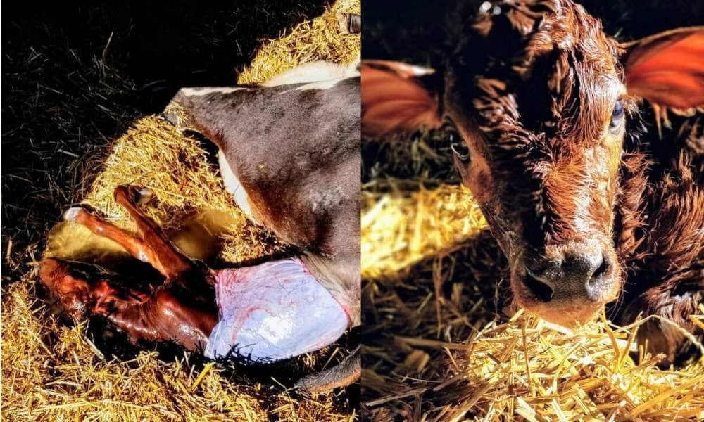 Cow giving birth- separating cows and calves.