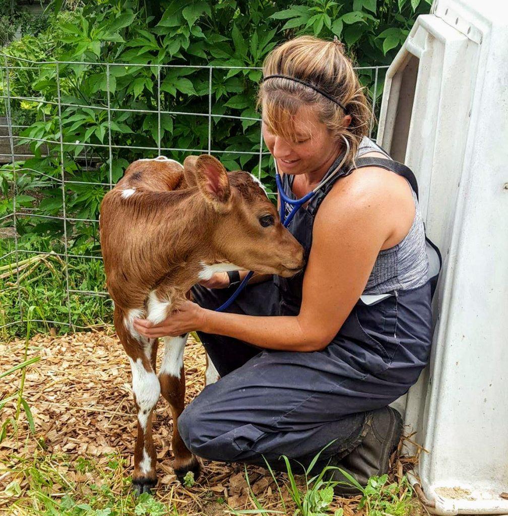 Why remove a calf from a cow