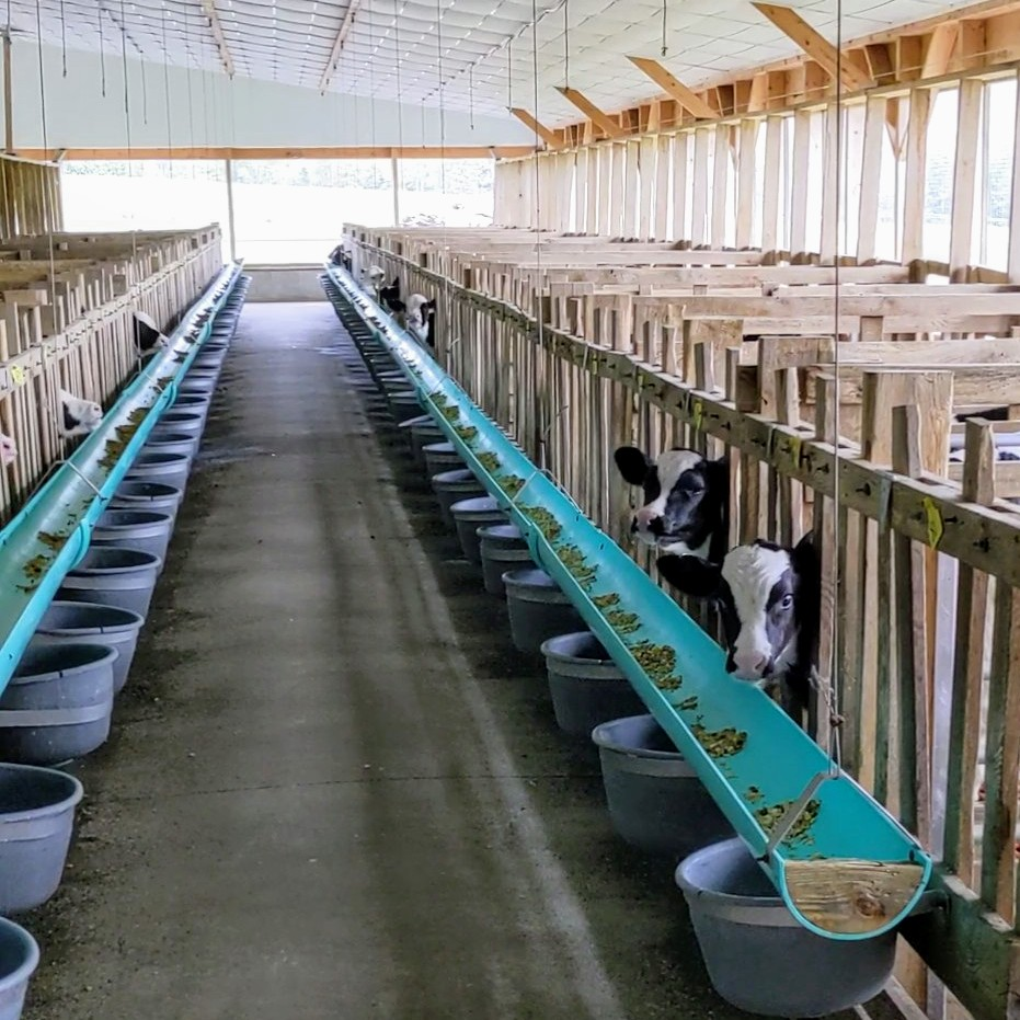 Veal calves in clean and airy barn
